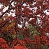 Front-Maple