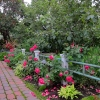 Walkway-Roses