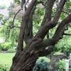 100Yr-Lilac-Trunk