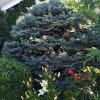 Old-Globe-Blue-Spruce