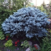 Old-Globe-Spruce
