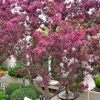 Backyard-Ornamental-Apple