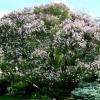 North-Lilac